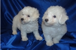 Picture of Bichon Frise Puppies for Sale