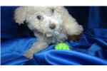 Picture of Male Cream Toy Poodle