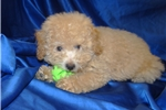 Picture of Male Apricot Toy Poodle