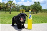 Picture of Shadow - AKC Morkie Male Pup