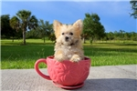 Picture of Furby - AKC Morkie Male Pup