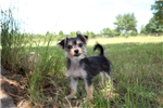 Picture of Zach - AKC Morkie Male Pup