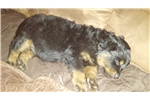 Picture of Akc male rottweiler puppy