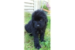 Picture of CKC Registered Newfoundland Puppy