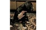Picture of Annie--CKC beautiful Brindle Boxer