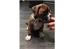 Picture of Beautiful Flashy Brindle CKC Male Boxer