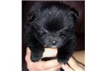 Picture of Beautiful Pomeranian Female Puppy