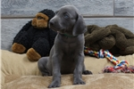 Picture of Weimaraner AKC blue male (Harvey)