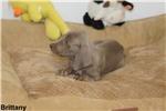Picture of Weimaraner AKC puppy champion pedigree