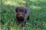 Picture of AKC Chesapeake Bay Retriever Puppies