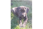 Picture of AKC black brindle  female