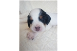 Picture of Champion Bred English Setter puppies