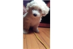 Picture of Jared - Yorkiepoo Puppy for Sale