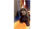 Picture of Luigi - Yorkiepoo Puppy for Sale