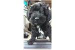 Picture of Little Pat - Yorkiepoo Puppy for Sale