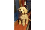 Picture of Yorkiepoo For Sale!!!
