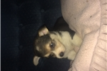 Bella | Puppy at 14 weeks of age for sale