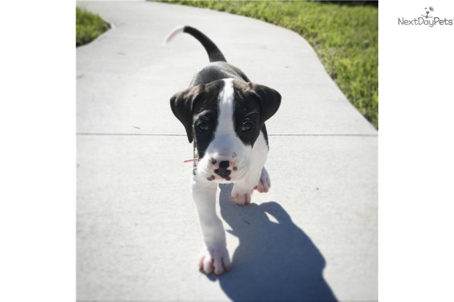 Great dane puppy for sale near north central fl florida 9fe51024