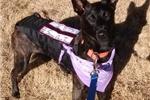 Picture of Trained 1yo Dutch Shepherd