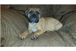 Picture of Akc Bullmastiff for sale