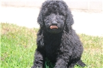 Picture of Stunning Multi-Gen Male Labradoodle