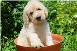 Picture of Charming Multi-Gen Male Labradoodle