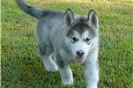 Picture of AKC Alaskan Malamute puppies
