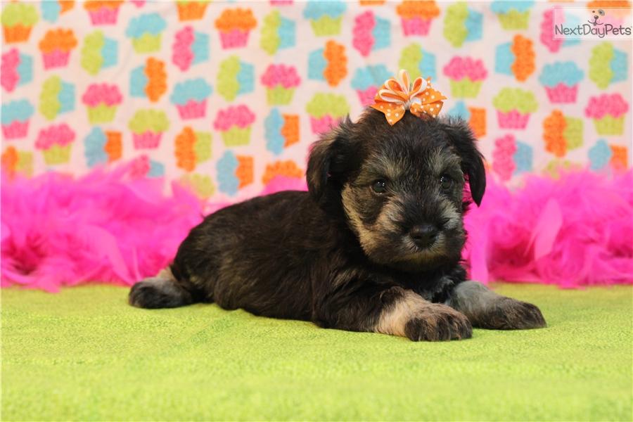 Miniature Puppies For Sale in Louisiana, LA