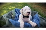 Picture of Beautiful UKC Registered Dogo Argentino Pup