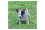 Picture of PURE BRED MINIATURE BLUE HEELER PUPPY