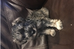 Picture of Mini Female Schnoodle