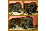 Male LEONBERGER Puppy For Sale | Puppy at 26 weeks of age for sale