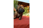 Picture of Ziva- Female Leonberger Puppy for Sale
