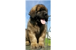 Wered- Female Leonberger Puppy for Sale | Puppy at 35 weeks of age for sale