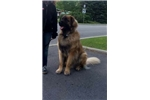 Picture of Young Leonberger Male for Sale