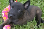 Picture of AKC Registered Belgian Malinois Puppies for Sale