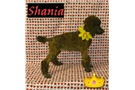 SHANIYA- AKC STANDARD POODLE SHIPPING AVAIL. | Puppy at 9 weeks of age for sale