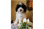 Picture of ANNABELL - SPRINGER DOODLE