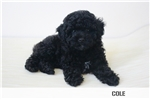 Picture of ADORABLE TOY POODLE BOY