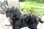 Picture of Miniature Bernedoodle