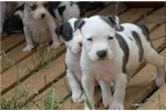 Picture of Adorable American Staffordshire Terrier Puppies