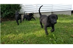 Picture of Dutch Shepherd Female Puppies