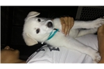 Picture of Scout - Amazing White Shepherd Puppy