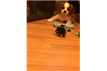 Picture of Male Cavalier King Charles Puppy!