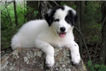 Picture of Great Pyrenees Female - SHIPPING INCLUDED