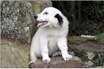 Picture of Great Pyrenees Female - French/Euro Lines