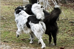 Picture of Livestock Guardians - Rare Full-Bodied 'Blaireau'