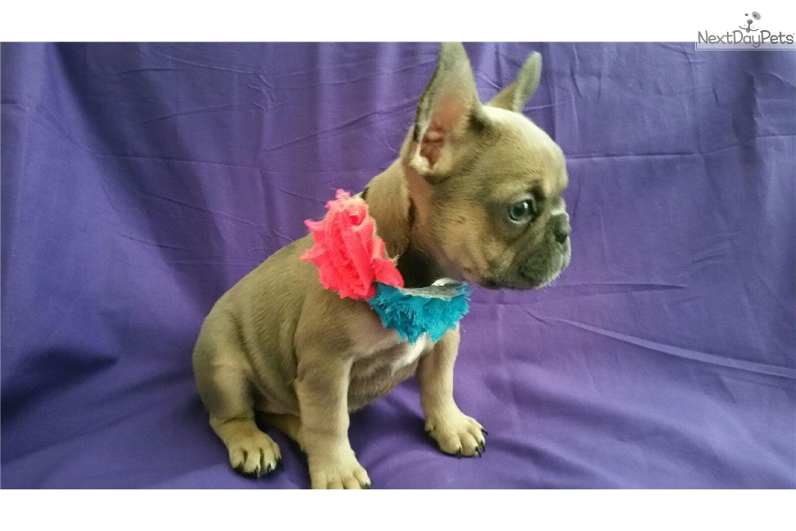 French Bulldog Puppies For Sale In The Inland Empire California | Dog ...