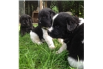 Picture of Newfoundland Puppy For Sale