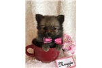 Picture of Adorable CKC registered female pomeranian puppy
